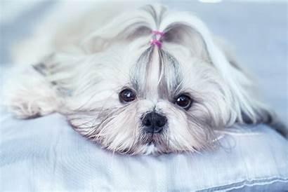 Tzu Shih Breed Info Health Dog Advice