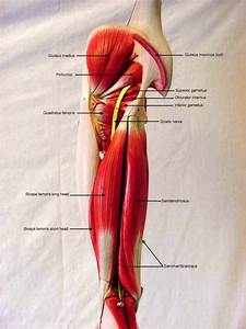 Somso Arm Muscle Model Labeled