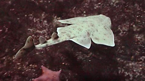 pacific angel shark coastal waters fishes squatina californica   monterey bay aquarium