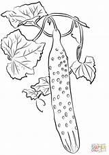 Colorare Colorear Gurke Cetriolo Pepino Ausmalbilder Disegni Cucumber Coloring Disegno Dibujos Ausmalbild Bambini Elegante Immagini sketch template