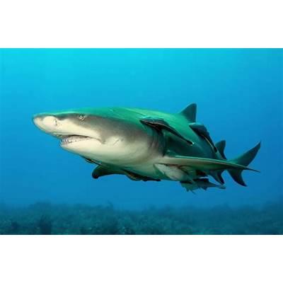 WooWork.com: Sour over Lemon Sharks