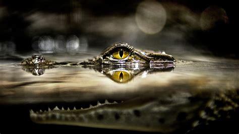 wallpaper  px alligators animals eyes