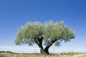 Olivenbaum Im Topf : olivenbaum umtopfen anleitung ~ Michelbontemps.com Haus und Dekorationen