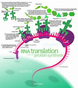 18 Best Genetics And Protein Synthesis Images On Pinterest