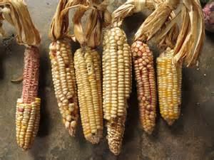 Maize Types