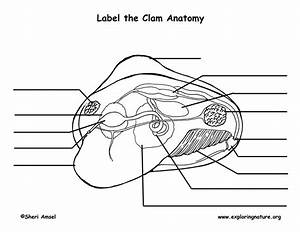 Clam Anatomy Labeling Page