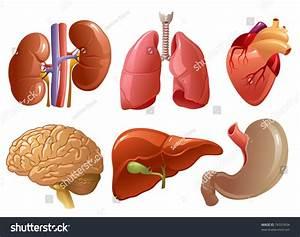 Internal Organs Stock Vector 74337634