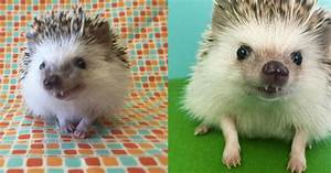Huff the Hedgehog slays with his vampire teeth