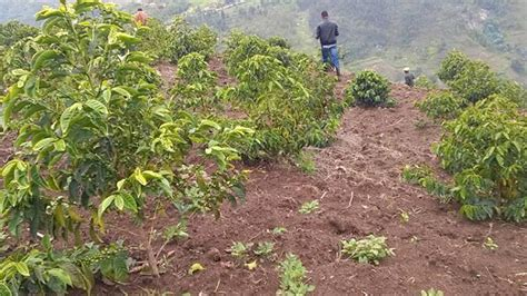 Top coffee plantation tour in da lat, vietnam. New coffee plantations to benefit about 6,000 farmers, says NAEB   The New Times   Rwanda