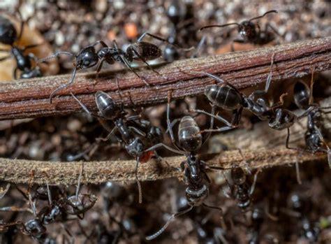 ameisen im garten bek 228 mpfen kein problem mit der plage garten news garten
