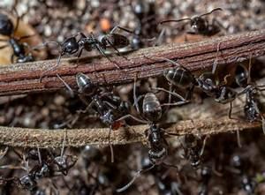 Ameisen Im Garten : ameisen im garten bek mpfen kein problem mit der plage garten news garten ~ Frokenaadalensverden.com Haus und Dekorationen