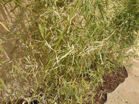 feuilles jaunes et conseils arrosage portail europeen du bambou