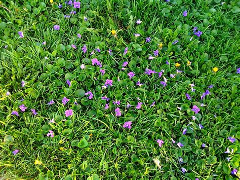 purple lawn lawn weed purple flower image search results