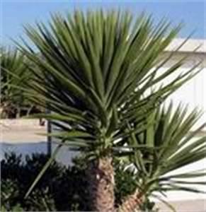 Yucca Palme Garten : winterharte palmen f r den garten ~ Lizthompson.info Haus und Dekorationen