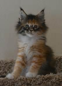 maine coon cat for best 25 maine coon kittens ideas on maine