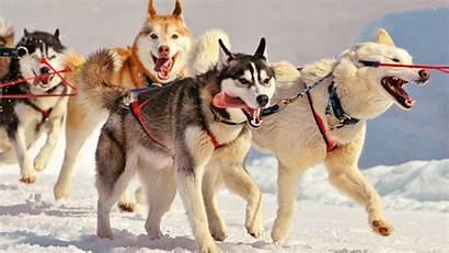 Siberian Huskies Wallpapers Husky