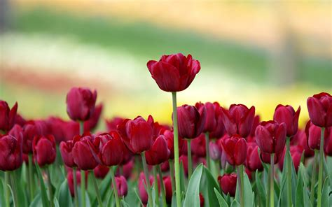 Tulips Flower Wallpapers