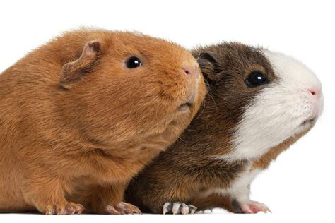 guinea pig breeds introduction to guinea pig breeds