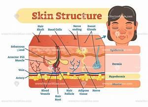 Skin Structure Vector Illustration Diagram