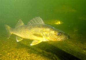 Walleye Fish Underwater