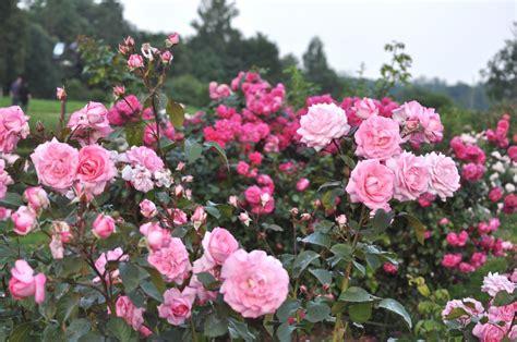 Foto: Rundāles pils parka rozes - KasVērtīgs.lv - epadomi.lv