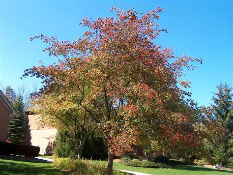 washington hawthorn online plant guide crataegus phaenopyrum washington hawthorn