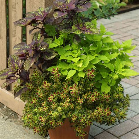 coleus container design 4 ways to design with coleus finegardening