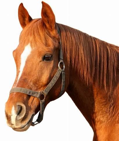 Horse Head Clipart Transparent Pluspng Animals Horses