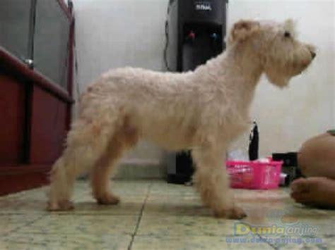 dunia anjing pejantan anjing miniature schnauzer stud