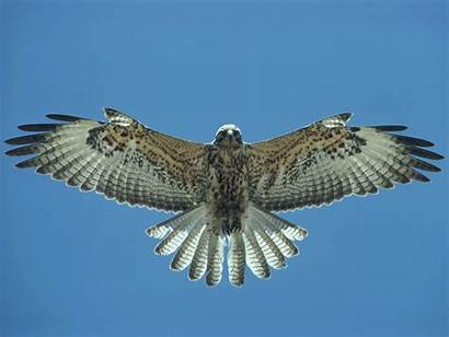 Falcon Wallpapers Hawk Flying Birds 1080p Awesome