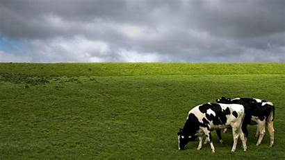 Cow Cows Holstein Dairy Backgrounds Wallpapers Desktop