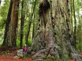 Redwood Trees Northern California