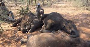 Poaching: Almost 90 elephants dead in 'biggest ever ...