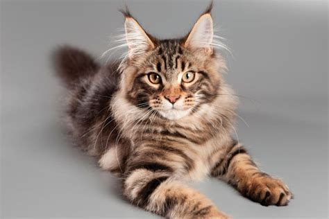Fall In Love With These 5 Large Cat Breeds