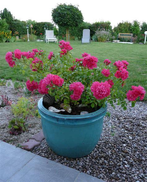 pot pour rosier grimpant 28 images rosiers en pot comment les entretenir roses guillot