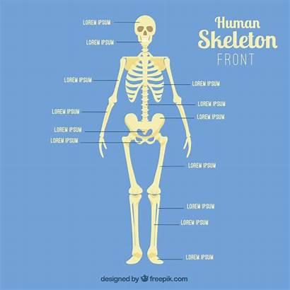 Scheletro Skelett Humano Esqueleto Umano Frontal Skelet