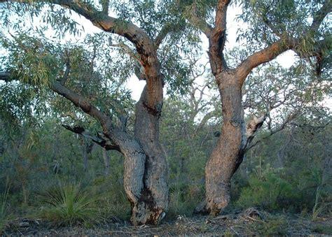 pricklybark eucalyptus todtiana robert powell tree