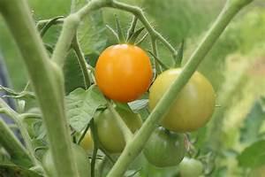 Tomaten Wann Pflanzen : wann sind tomaten reif gartentipps wann sind tomaten reif wann sind tomaten reif wann sind gr ~ Frokenaadalensverden.com Haus und Dekorationen