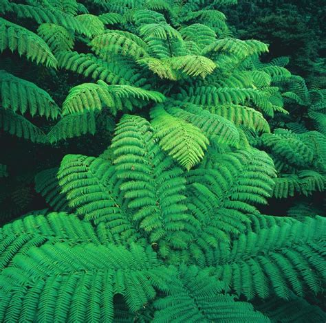 ferns species ferns the glory of the forest new zealand geographic