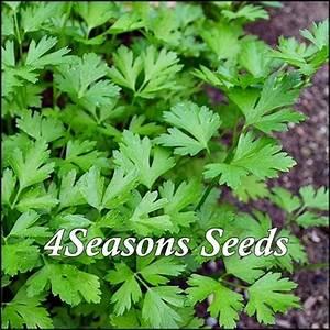 Italian Parsley - Flat Leaf - 4Seasons Seeds