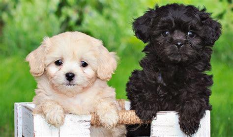 pekeapoo dog breed information