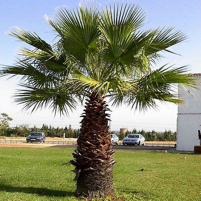planting fan palm trees california fan palm tall slender trunk is topped with