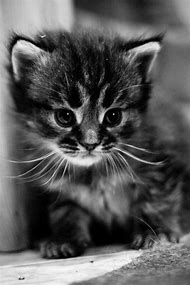 Cute Baby Kittens Black and White