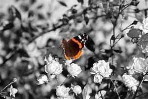 Schwarz Weiß Bilder Tiere : schmetterling schwarz wei mit frabe erster versuch foto bild tiere macro nahaufnahme ~ Markanthonyermac.com Haus und Dekorationen