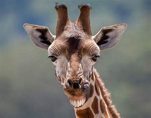 A smiling giraffe | Hilarious smiling animals around the ...
