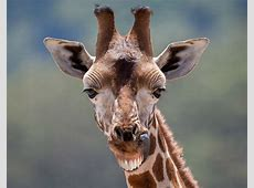 A smiling giraffe Hilarious smiling animals around the