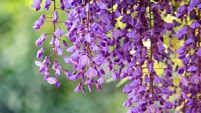 Wisteria Tree Amicizia Desktop Flores Flower Fiori