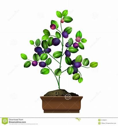 Blueberry Clipart Bushes Bush Clipground Bilberry Flowerpot