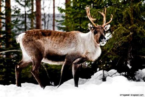 Reindeer Wallpaper Hd by Reindeer Hd Wallpapers Mega Wallpapers