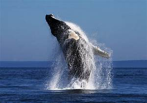 Discovering Cetacean Research in the Gulf of Saint ...